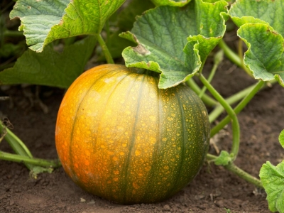 Pumpkin: Health Benefits of Pumpkin